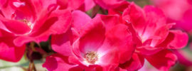 Knockout Rose Guide: Tips for Growing Knockout Roses