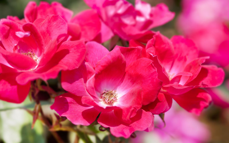 Knockout Rose Guide Tips For Growing Knockout Roses Garden Lovers Club