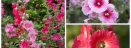 Hollyhock Growing Guide: Complete Guide On Care and Maintenance