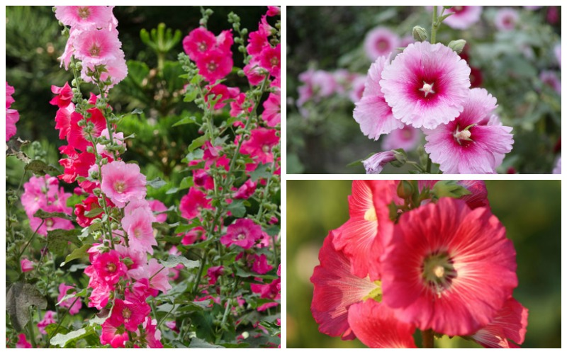 Hollyhock growing guide complete guide on care and maintenance hollyhock growing guide complete guide on care and maintenance garden lovers club mightylinksfo