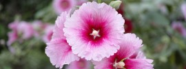 The Different Varieties of Hollyhocks