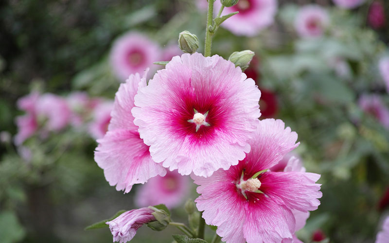 Hollyhock Growing Guide Complete Guide On Care And Maintenance