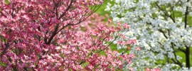 How to Grow and Care For Dogwood Trees
