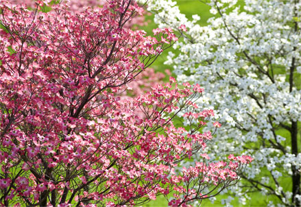 blooming-dogwood-tree