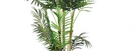 Areca Palm Care: Complete Guide On Growing Areca Palm
