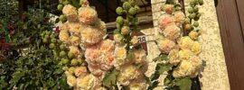 The Different Types & Varieties of Hollyhocks