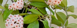 Hoya Plant Growing Guide: Tips On Care and Maintenance