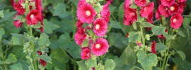 How to Transplant Hollyhocks