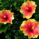 palm-springs-hibiscus