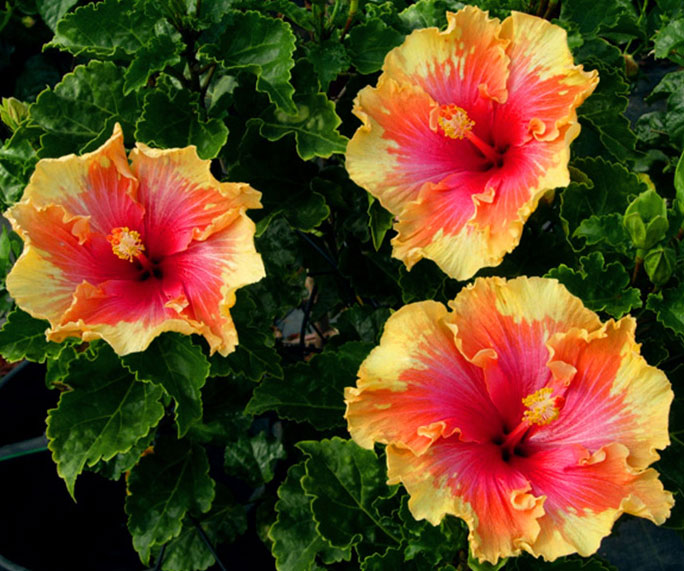 The Different Types Of Hibiscus Garden Lovers Club