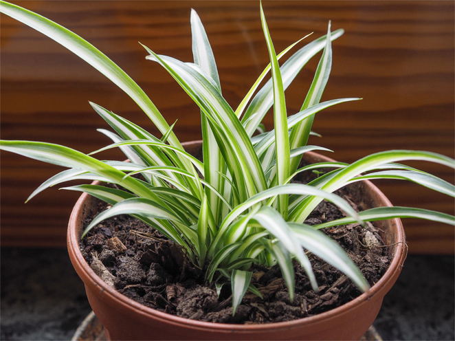 Spider Plant Care Tips On How To Care For A Spider Plant
