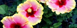 Tips to Prevent Hibiscus Flowers From Falling