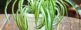 Spider Plant Care: Tips on How to Care for a Spider Plant