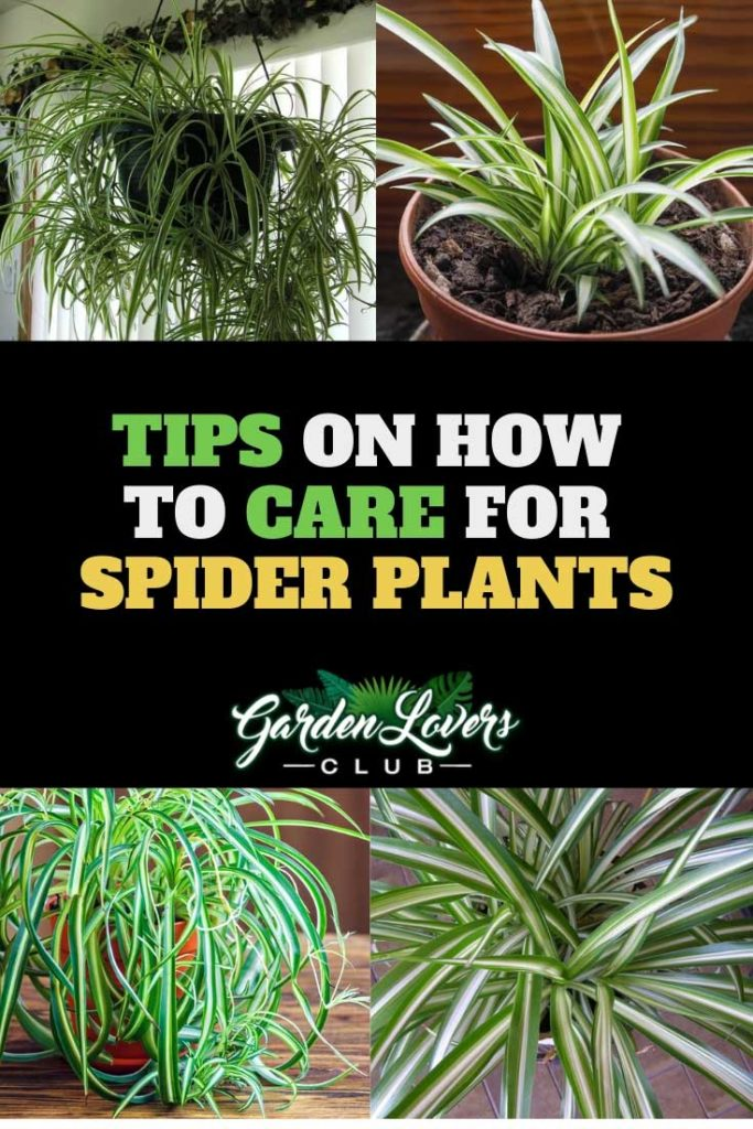spider plant care Pinterest