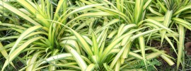 Tips on Fertilizing Spider Plants