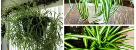 Tips on How to Prune Your Spider Plant