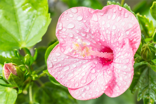 watering a hibiscus plant