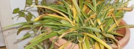 Solutions to Yellow Leaves On Spider Plants