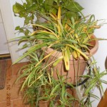 yellow-leaves-spider-plant