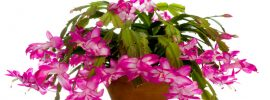 Christmas Cactus: How to Grow and Care for Christmas Cactus