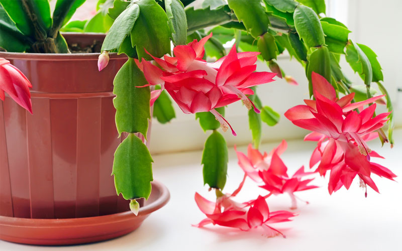 Christmas Cactus Problems.Christmas Cactus How To Grow And Care For Christmas Cactus