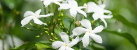 Jasmine Plant Care: How to Care for Jasmine Plants