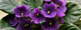 10 Tips for Caring for African Violets