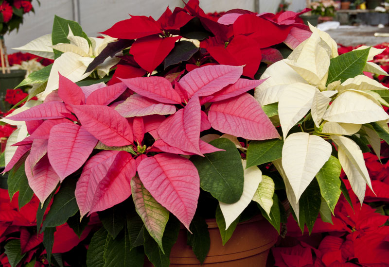 10 Tips On Growing Poinsettia Plants