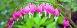 How to Grow and Care For Bleeding Heart Plants