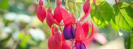 How to Grow and Care for Fuchsia Plants