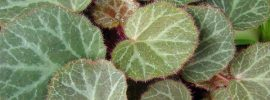 How to Grow and Care for Strawberry Begonia