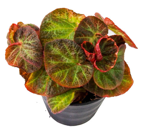 Strawberry Begonia in a pot