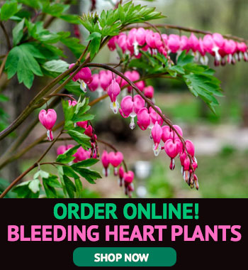 How To Grow And Care For Bleeding Heart Plants Garden Lovers Club