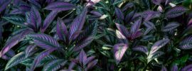 How to Grow and Care for Persian Shield Plants