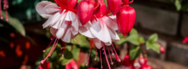 How to Overwinter Fuchsia Plants