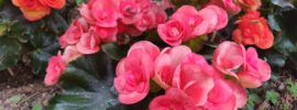 Wax Begonia: How to Grow and Care for Wax Begonias