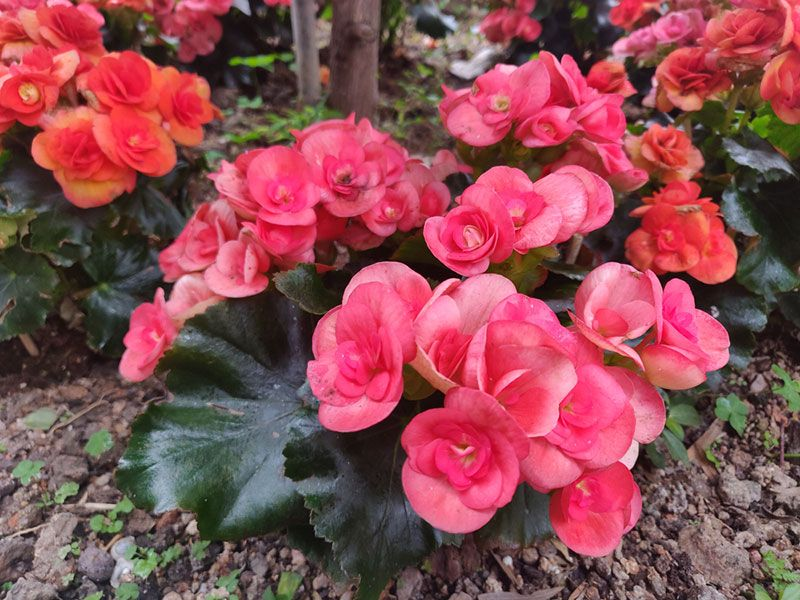 wax begonia planted in-ground