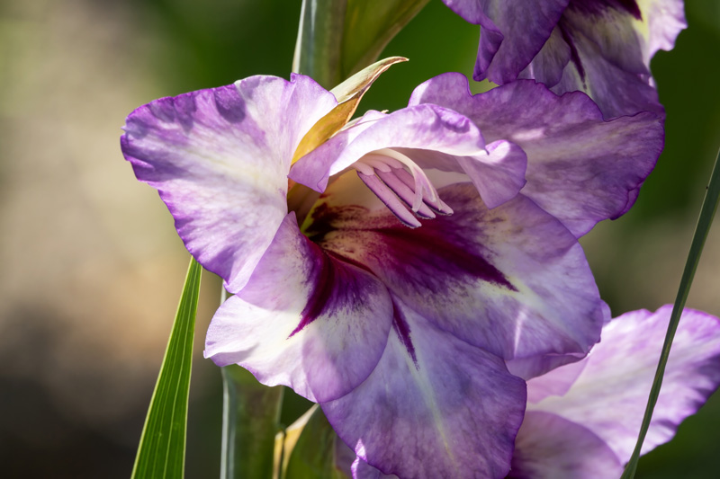 How To Grow And Care For Gladiolus Flower