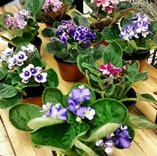 african-violets-plants