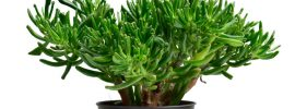 Hobbit Jade Plant Guide: Tips on How to Grow