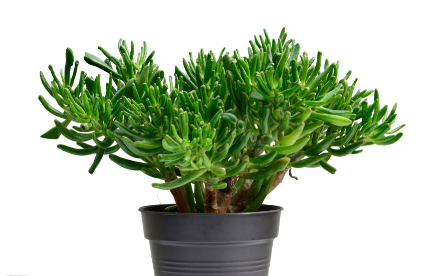 Hobbit Jade Plant Guide Tips On How To Grow