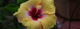 Tips on Overwintering Hibiscus