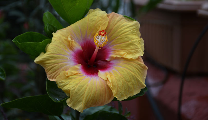 Tips On Overwintering Hibiscus Garden Lovers Club