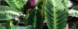 Calathea Plant Care Guide: Tips for Growing