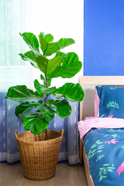 Fiddle-Leaf Fig lighted Bedroom
