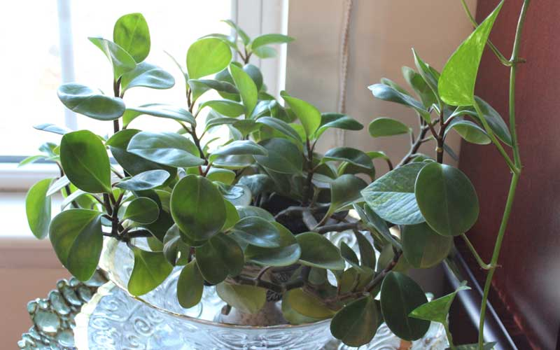Peperomia rubber plant