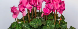 Cyclamen Plant: How to Grow and Care for Cyclamen Plants