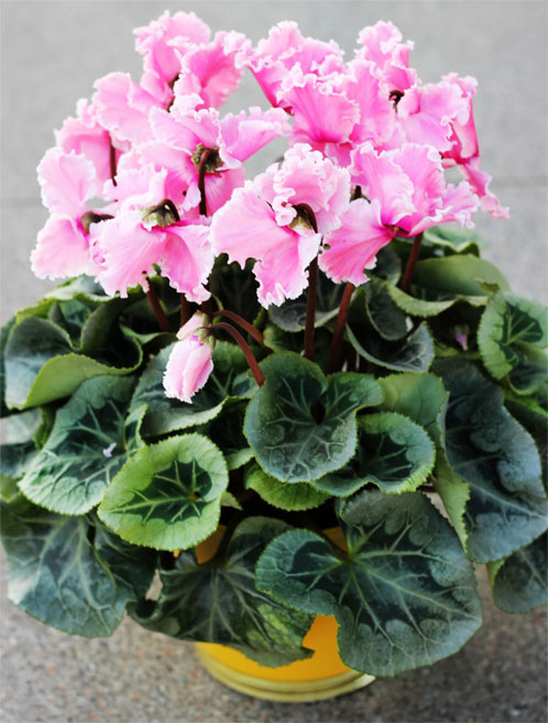 Cyclamen Plant Care Growing Tips Cutting Planting: Cyclamen Plant: How To Grow And Care For Cyclamen Plants