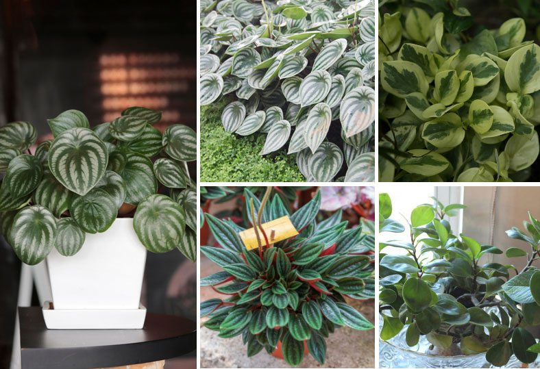 peperomia plant collage