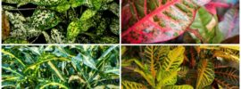 Different Types of Croton Plants